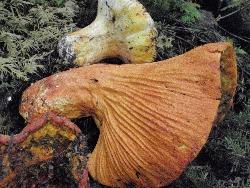 H. lactifluorum1